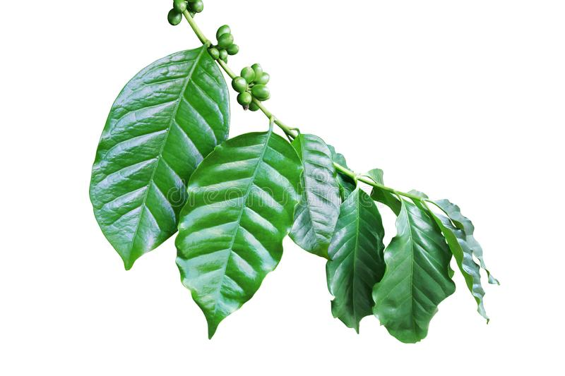 Coffee Branch with Fresh Green Leaves and Beans Isolated on White Background stock photo