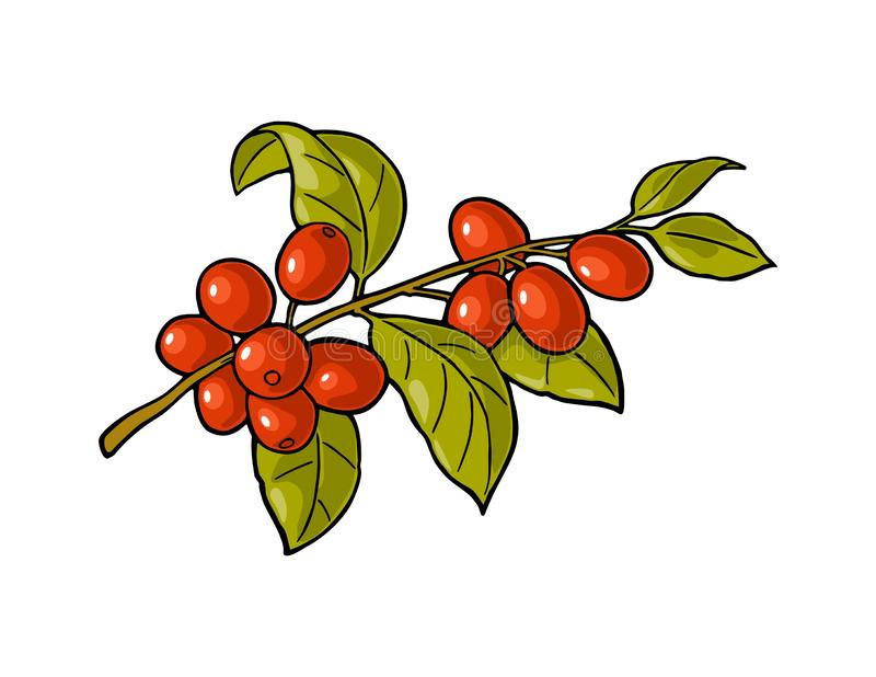 Coffee branch with leaf and berry. Vintage vector engraving royalty free illustration