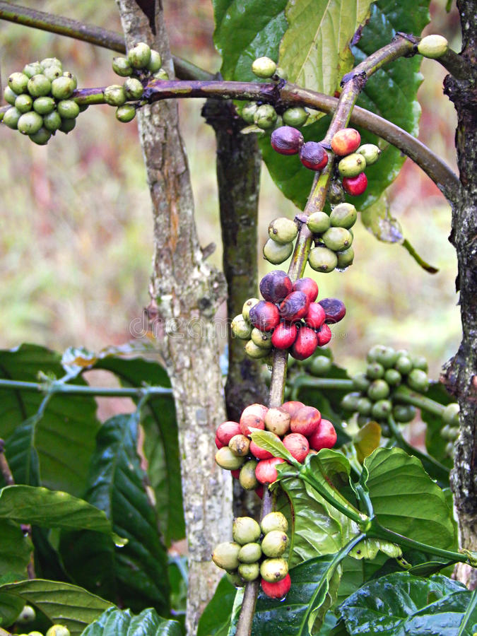Coffee branch stock images