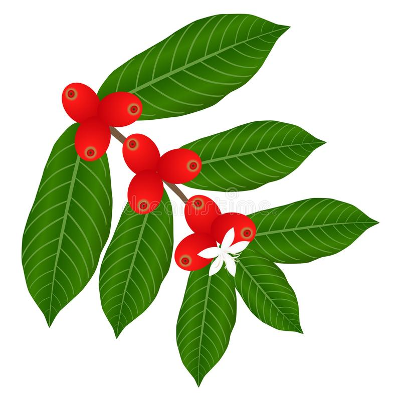 Coffee branch with white flower and red berries. royalty free illustration