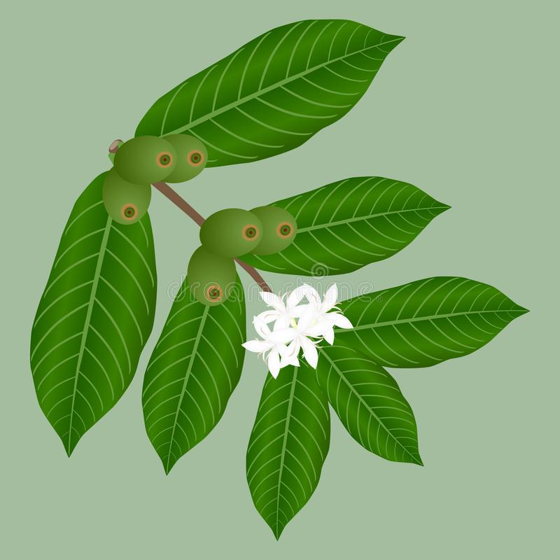 Coffee branch with white flowers and green berries. vector illustration
