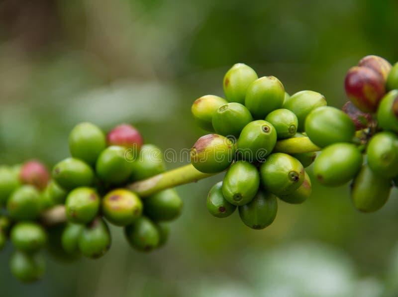 Coffee cherry. In kanchanabury province thailand royalty free stock photography