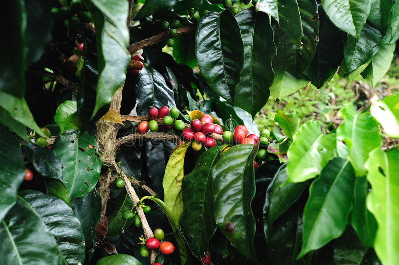 Coffee in Colombia royalty free stock image
