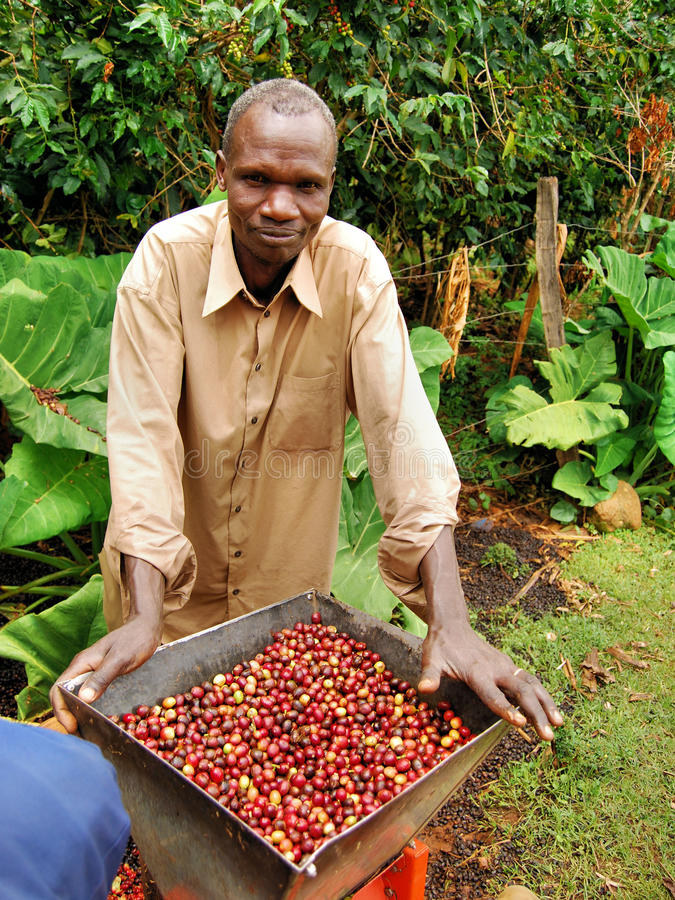Coffee farmer. S in Uganda husk coffee beans after picking them