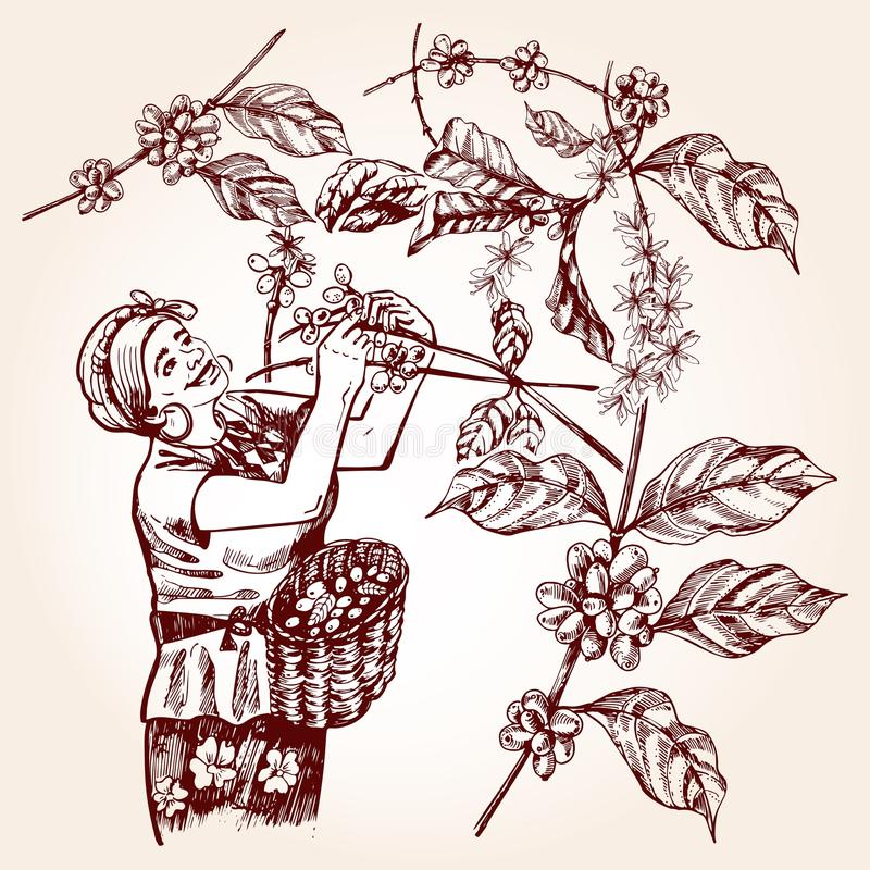 Coffee harvesting. Vintage vector illustration. Coffee harvesting. Woman collects coffee fruit from branches of trees and places coffee berries in a basket vector illustration