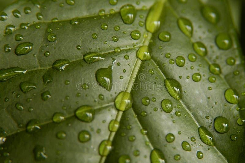Coffee leaf stock photos