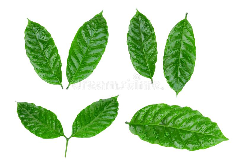 Coffee leaf with drop of water isolated on white stock photos