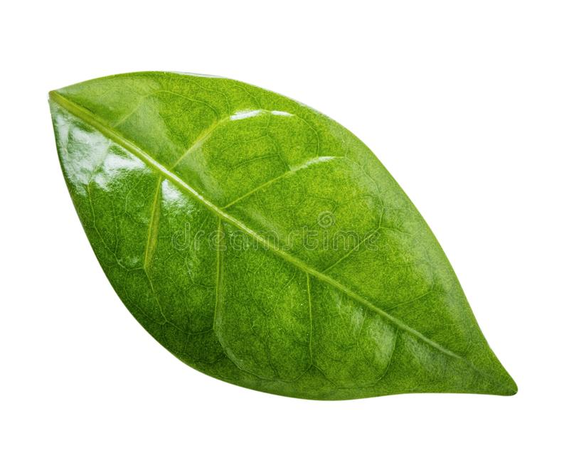 Coffee leaf isolated on white background. Clipping path. Coffee leaf isolated on white background stock images