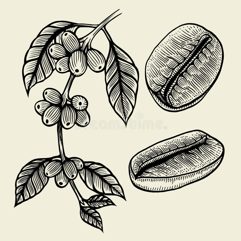 Coffee plant branch stock illustration