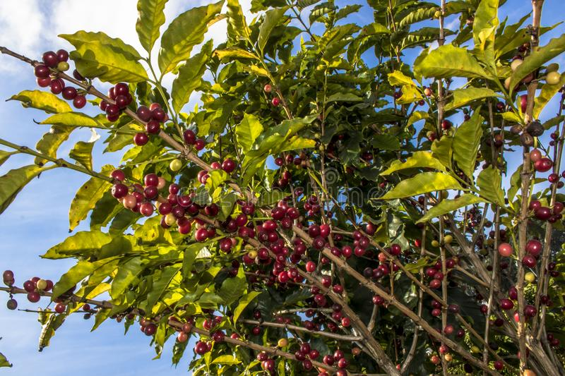 Coffee plant in field royalty free stock photo