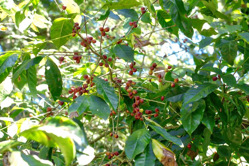 Coffee plant, Oaxaca. Agriculture, bean, beautiful, berries, beverage, branch, bush, caffeine, closeup, countryside, drink, farm, food, fresh, fruit, grass royalty free stock photography