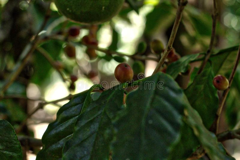 Coffee plant, Oaxaca. Agriculture, bean, beautiful stock image