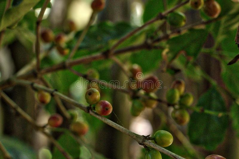 Coffee plant, Oaxaca. Agriculture, bean, beautiful, berries, beverage, branch, bush, caffeine, closeup, countryside, drink, farm, food, fresh, fruit, grass royalty free stock photos