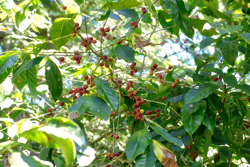 Coffee plant, Oaxaca. Agriculture, bean, beautiful, berries, beverage, branch, bush, caffeine, closeup, countryside, drink, farm, food, fresh, fruit, grass royalty free stock images