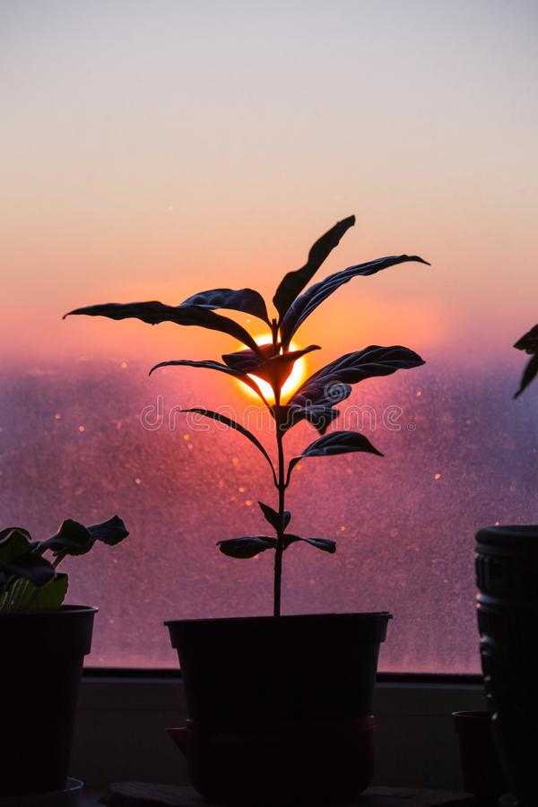 Coffee plant in a pot stands on a window sill against the background of a sunset, a red sun, in the winter weary windows. The stock photo
