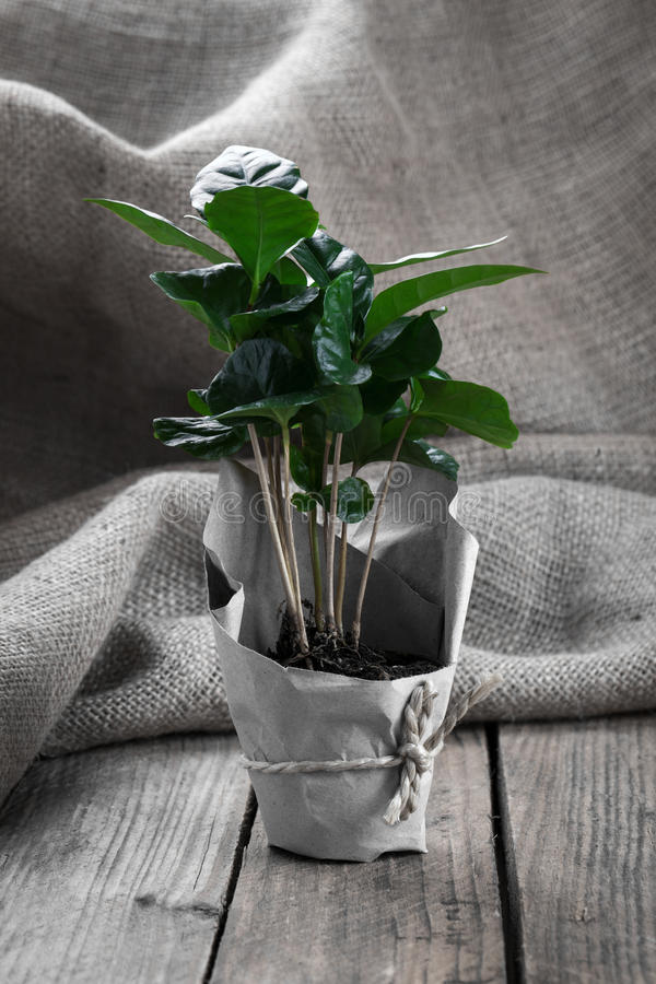 Coffee plant tree. In paper packaging on sackcloth, wooden background royalty free stock photography