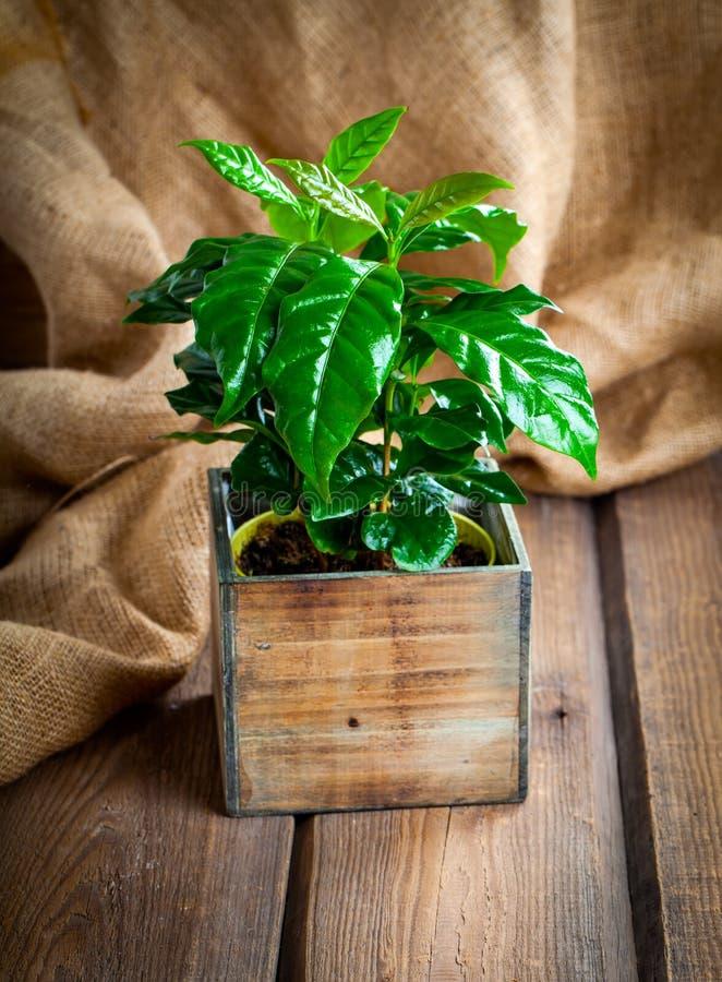 Download Coffee Plant Treeon Sackcloth Stock Photo - Image: 83723956