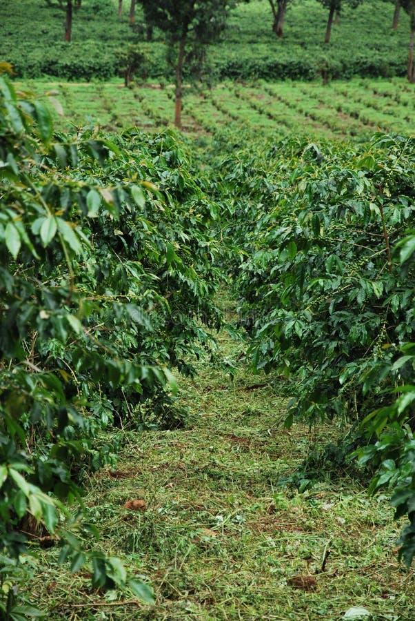 Download Coffee plantation stock image. Image of biodiversity, environment - 9562693