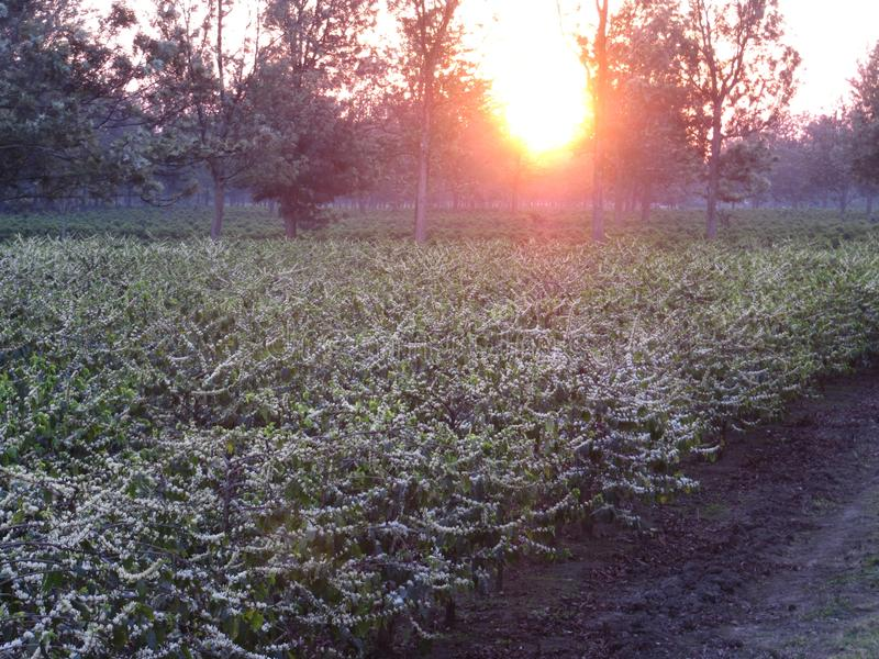 Coffee plantation in flower stock photography