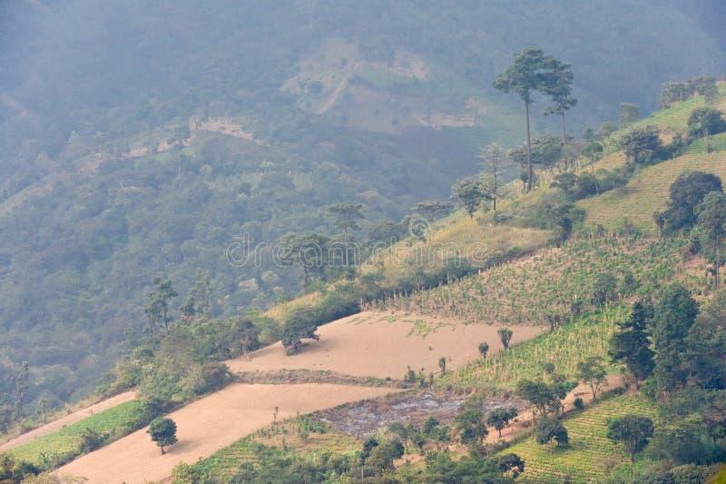 Coffee plantation Guatemala stock image