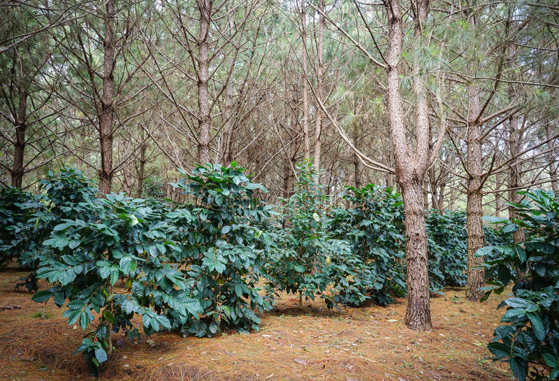 Coffee plantation. Coffee trees were planted in the shaded pine forest plantation stock images