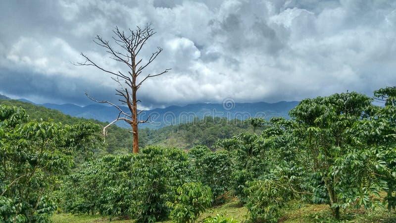 Coffee Plantation royalty free stock photos