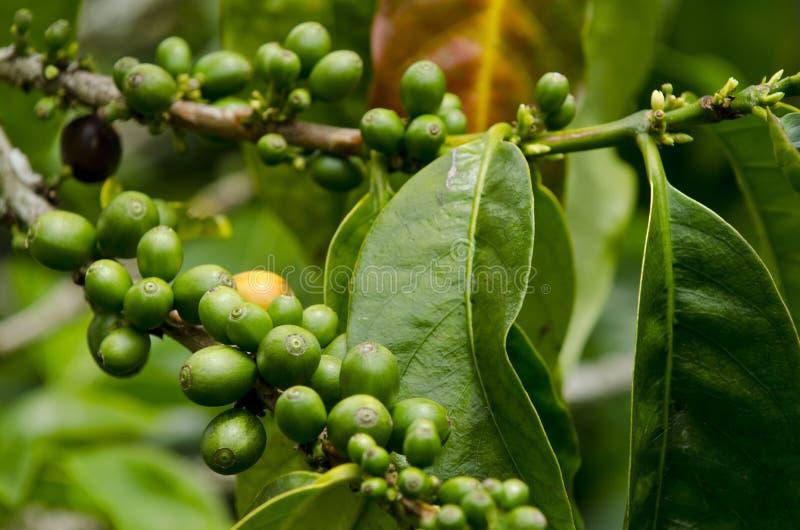 Coffee plantations. In Finca Lerida, Boquete, Chiriqui province, Panama, Central America royalty free stock image
