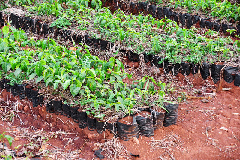 Download Coffee plants stock photo. Image of drink, coffee, plantation - 29380454