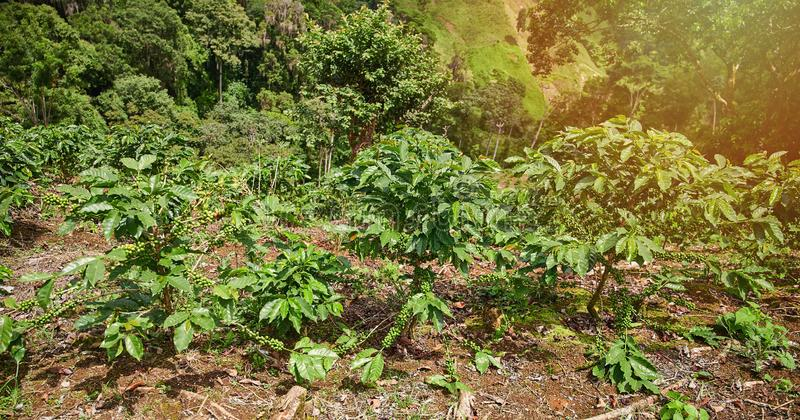 Coffee plants grow on hill. In bright sun day light stock photo