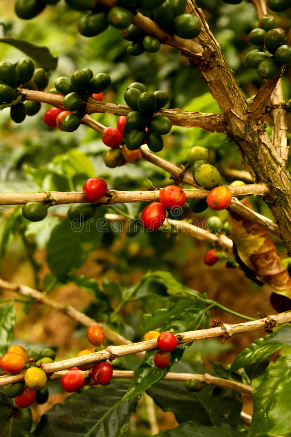 Coffee plants to mature stock photography