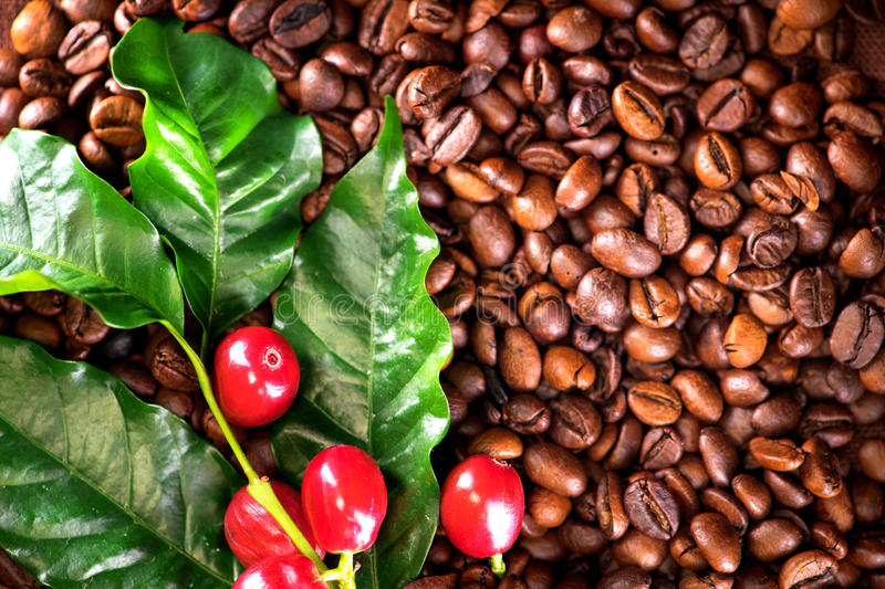coffee real coffee plant on roasted coffee beans background stock image image of brown. Black Bedroom Furniture Sets. Home Design Ideas