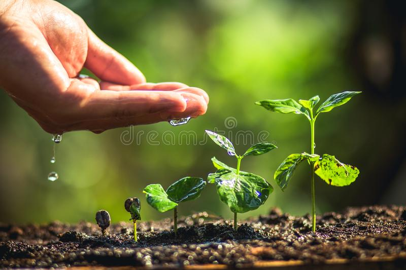 Growing Coffee Beans Watering sapling Natural light. Coffee seed tree sapling in nature green Growing Coffee Beans Watering sapling Natural light stock images