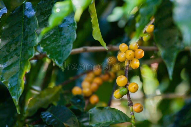 Coffee seeds on the tree stock photo