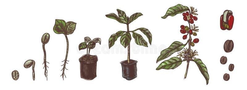 Coffee set. Coffee growing process. Vintage vector illustration. royalty free illustration