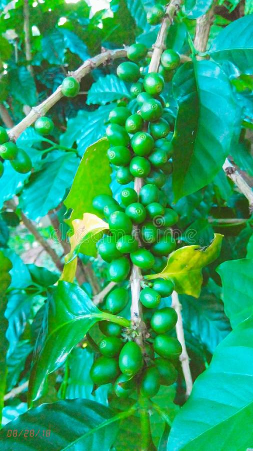 A Coffee tree and bean stock photo
