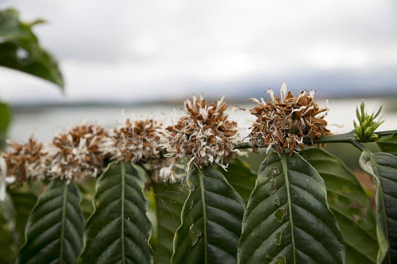 Coffee tree in bloom. Vietnam, Dalat stock photos