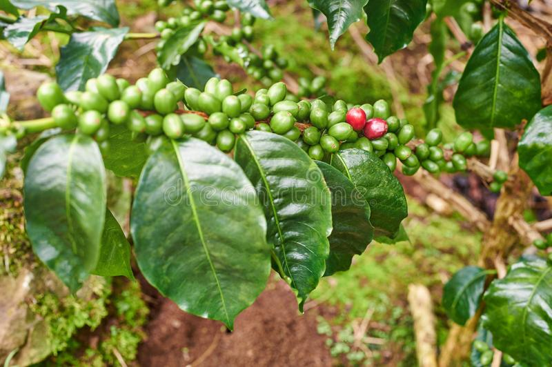 Coffee tree branch. With green berries close up view stock photos