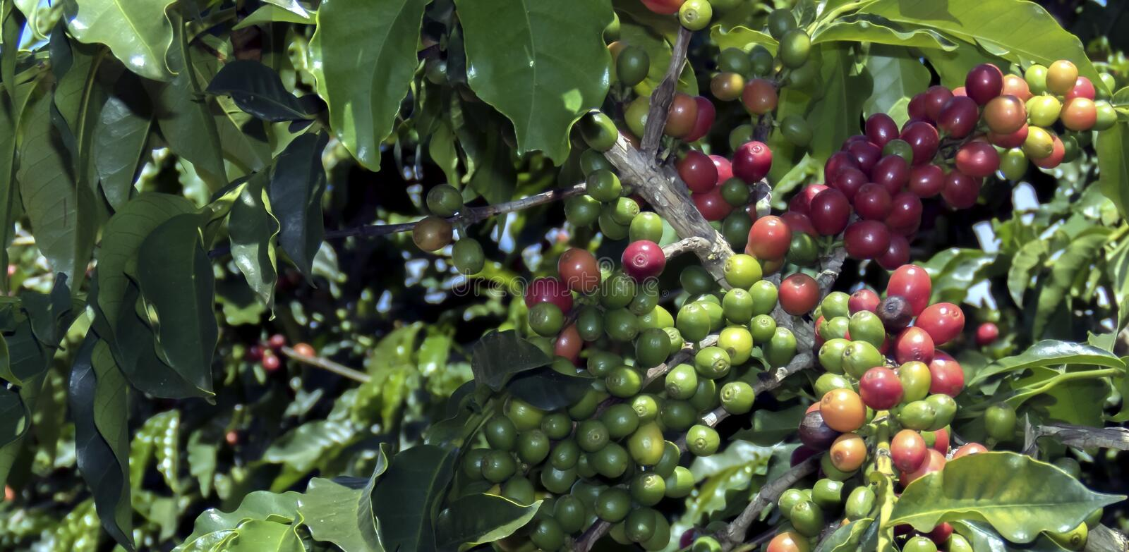 Coffee fruit. stock images