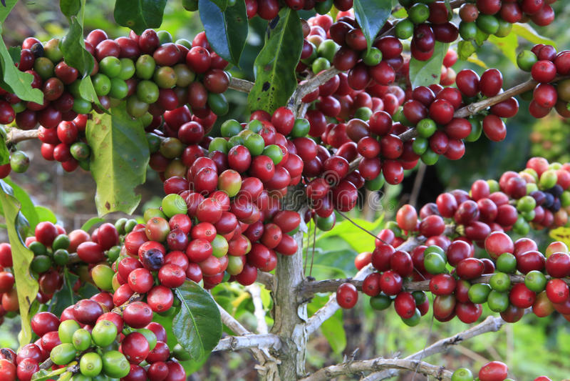 Coffee tree with coffee bean stock photos