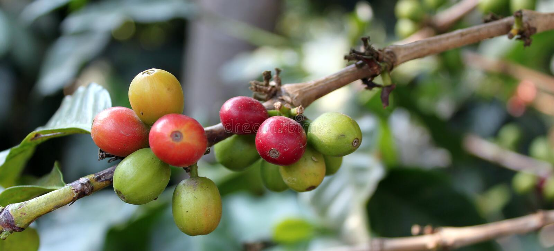Coffee-tree. Guatemala stock images