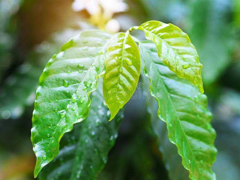 Coffee leafs with water drop in a spring season. stock photos