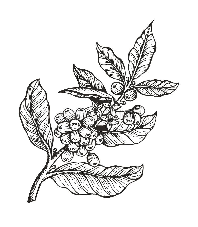 Free Coffee Tree With Beans Coffea Vector Illustration Stock Photography - 120711932