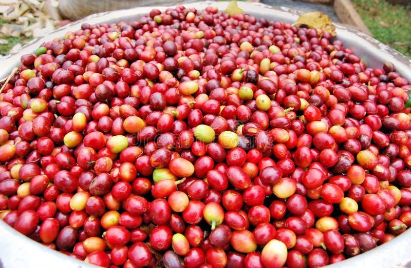 Coffee in Uganda royalty free stock photos