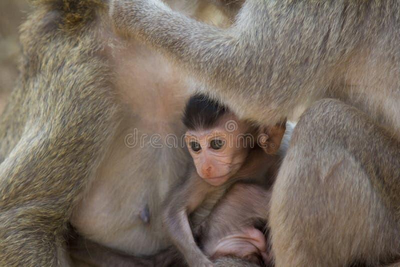 Coffre-fort se reposant de bébé de Macaque de longue queue entre deux singes adultes images libres de droits