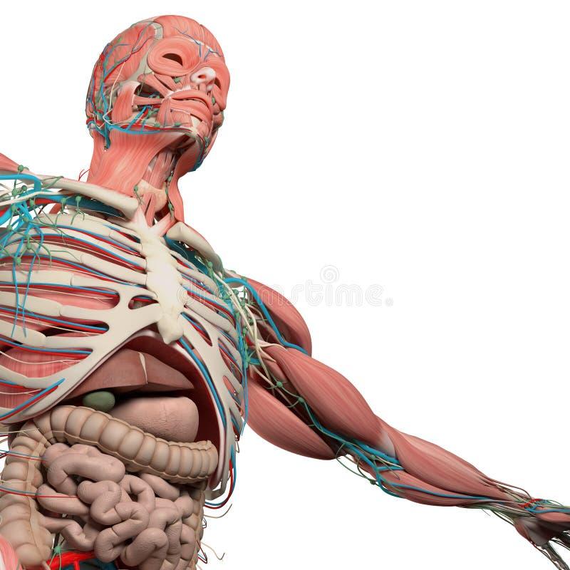 Coffre humain d'anatomie, torse, muscle, intestin Sur le fond blanc simple de studio illustration de vecteur