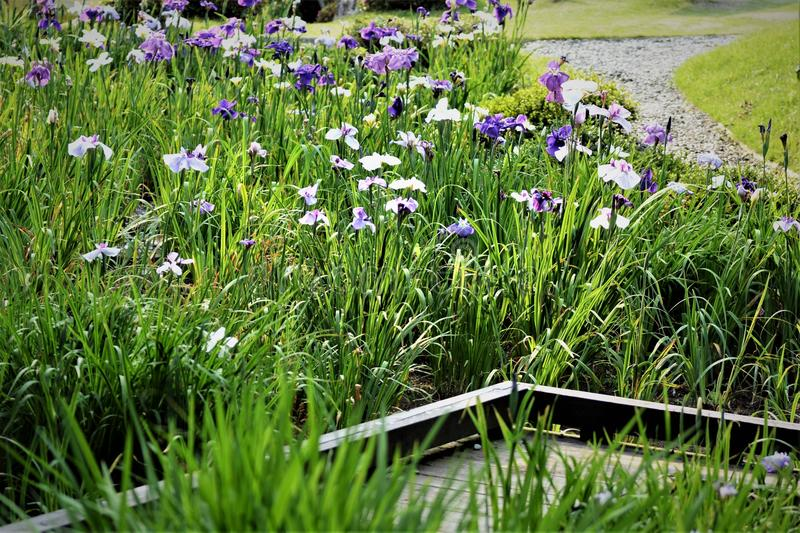 Cognassier du Japon d'iris images libres de droits