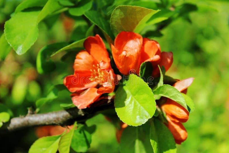 Cognassier du Japon de Chaenomeles, fleurs rouges parmi les feuilles vertes image libre de droits