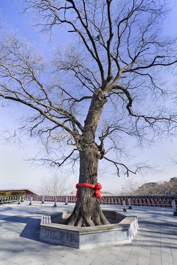 Cognassier du Japon de Sophora de synonyme de japonicum de Styphnolobium, arbre de pagoda japonaise au temple bouddhiste chinois images stock