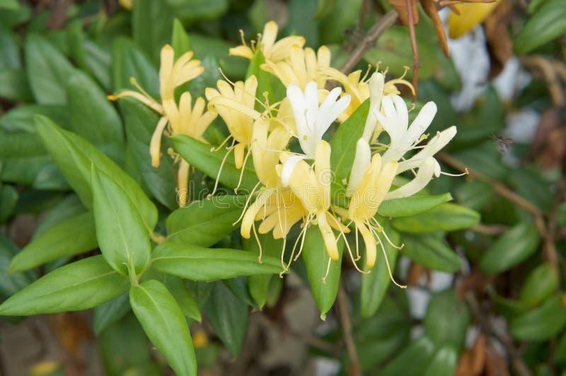 Cognassier du Japon Thunb de Lonicera ou fleur jaune et blanche de chèvrefeuille japonais images libres de droits