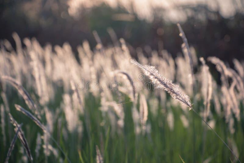 Cogon-Gras im wilden Sch?nheit, wei? lizenzfreie stockbilder